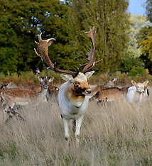 OCT 10 2014 Deer at Bushy Park