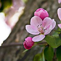 Crabapple trees in flower