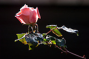 pink rose on black background Back lit