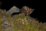 A Brushtail Opossum joey piggybacks on its parent, in the middle of the night.  Mount Cook National Park, New Zealand