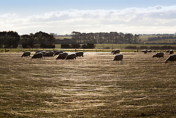 Spiders ballooning in a field of sheep near Cressy, Tasmania