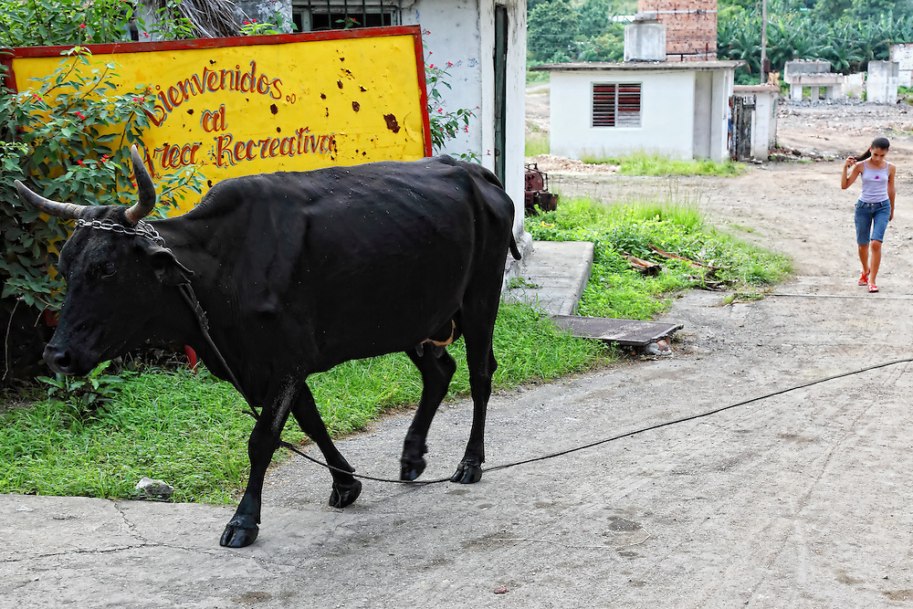 Cow in Guaos, Cienfuegos Province, Cuba.