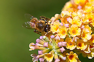 A honeybee (Apis mellifera) forages for nectar on Buddleja flowers (Buddleja weyereiana)