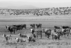 Cows grazing in field in New Mexico