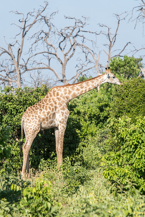 Single giraffe (Giraffa) stretches out its neck to graze off of trees, Chobe National Park - Botswana