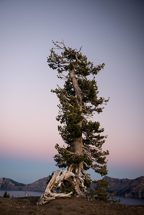 A white pine stands in a solitary posture along the shores of Crater Lake, Oregon