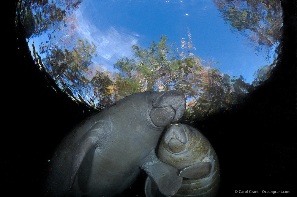 Florida manatee, Trichechus manatus latirostris, a subspecies of the West Indian manatee, endangered. Mother and calf touch and display their close and tender bond. Unique peaceful image with snell's window. Horizontal orientation with blue sky looking up. Three Sisters Springs, Crystal River National Wildlife Refuge, Kings Bay, Crystal River, Citrus County, Florida USA.