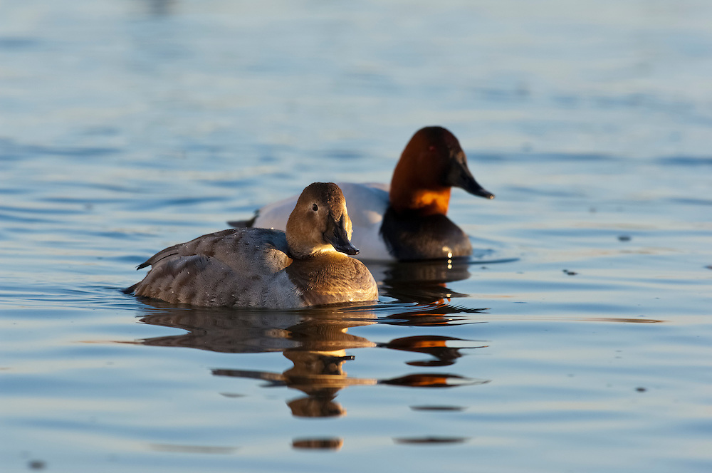 Canvasback, Aythya valisineria, male and female, Chesapeake Bay, Maryland