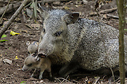 Collared peccary (Pecari tajacu) & Babies<br /> Belize,<br /> Central America<br /> Captive