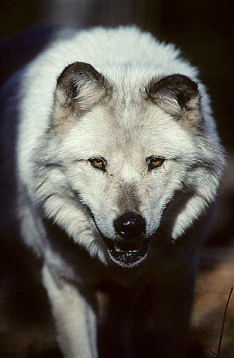 Gray Wolf, (Canis lupus) Portrait of white colored wolf. Late fall. Michigan.  Captive Animal.