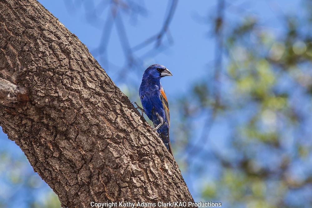 Blue grosbeak, Passerina caerulea, male, Marathon, Texas, west Texas,