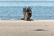 A juvenile bald eagle takes flight along the beach at Anchor Point, Alaska.