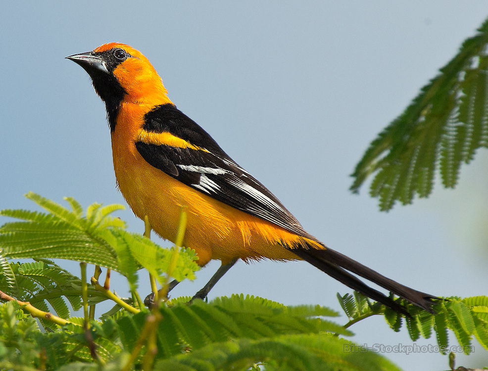 Altamira Oriole, Icterus gularis, Yucatan, Mexico, by Owen Deutsch