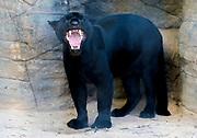 "Melanistic male jaguar (Panthera onca), known as ""panther"" in Wildlife World Zoo, Phoenix, Arizona, USA"
