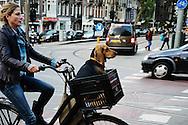 Nederland, Amsterdam, 8 okt  2015<br /> Fietsers in het verkeer. Er wordt heel veel gefietst in Nederland.  Vrouw op de fiets met hond voor in het bakkie.<br /> Foto: Michiel Wijnbergh