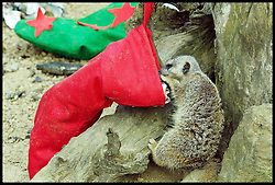 A meerkat with a Christmas stocking.The stockings are given to the Meerkats  before Santa  comes  flying into the Zoo on Saturday (November 23) to take up his annual residence in the fairytale grotto, as Whipsnade's magical Meet Santa experience Thursday, 21st November 2013. Picture by Max Nash / i-Images