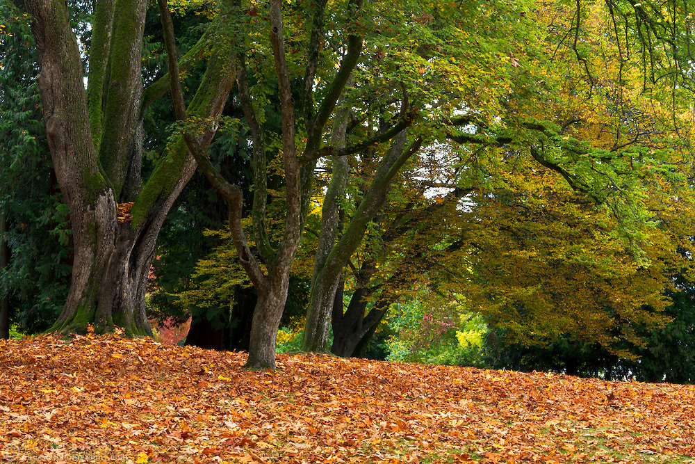 Stanley Park's Maple trees show some early Fall colours in Vancouver, British Columbia, Canada