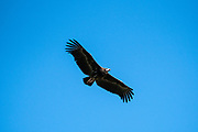 White-headed vulture (Trigonoceps occipitalis) Critically endangered bird species endemic to Africa. In flight with a blue sky background. Photographed at Lake Kariba National Park, Zimbabwe