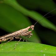 Humbertiella sp. Mantis, AKA Bark Mantis in Pang Sida National Park, Thailand.