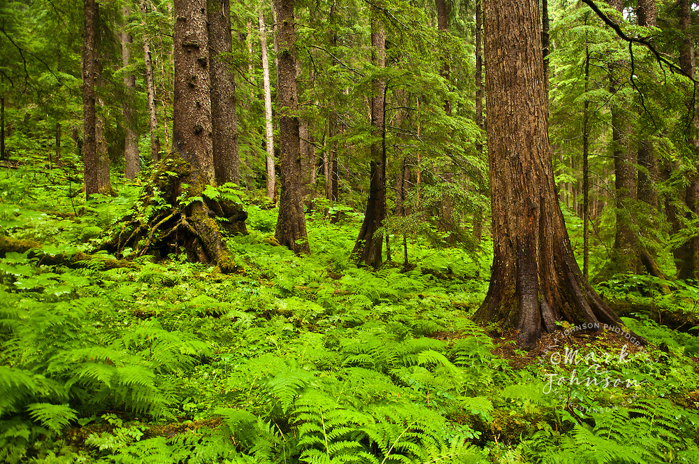 Trees and ferns growing in a rainforest, Tongass National Forest, Sitka, Alaska