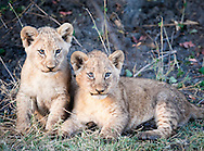 Lion cubs, Mombo camp, Okavango Delta, Botswana