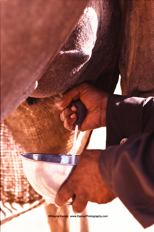 Milking a camel.  Camel's milk tastes similar to cow's milk, is rich in protein, low in fat, and high in vitamin C. Dahana Sands, Saudi Arabia