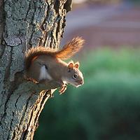 Baby Fox Squirrel