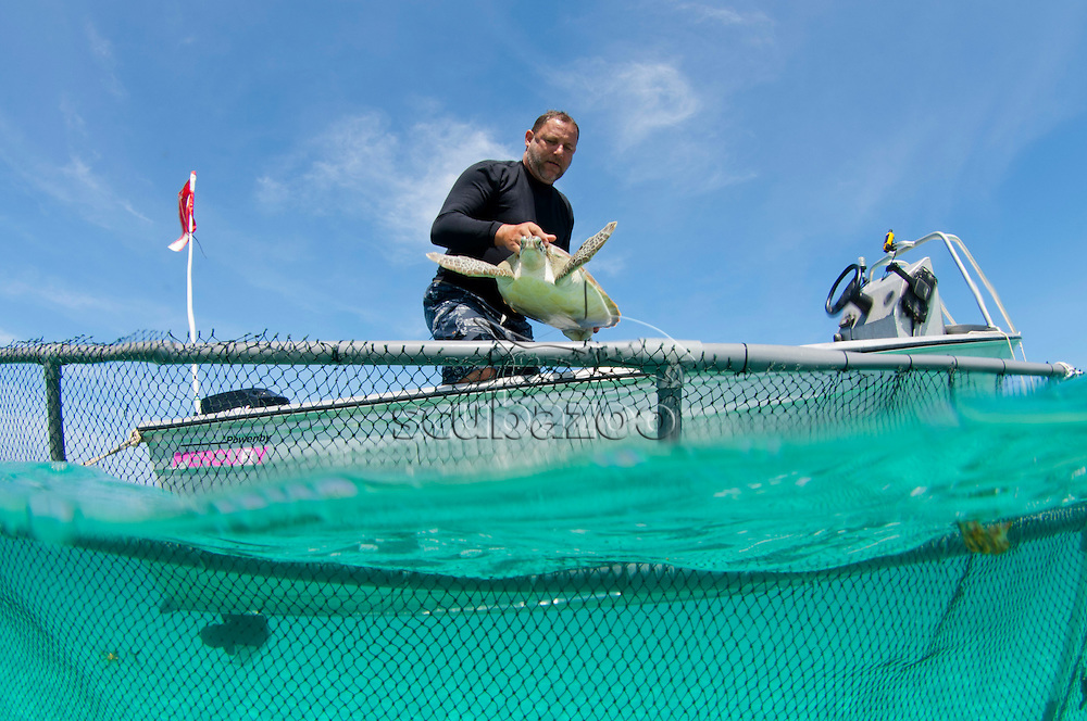 Man gently lowers a sea turtle into the netted area, to observe how it responds to confinement in the enclosure, Mantanani, Sabah, Malaysia