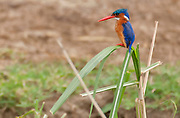 Malachite Kingfisher (Alcedo cristata) from the Kazinga Channel, Uganda.