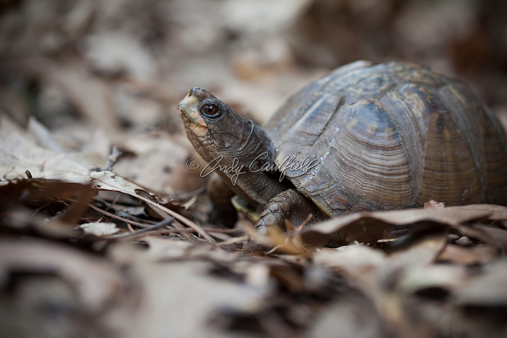 Adult Eastern Box Turtle walking on oak tree leaf litter in suburban Boston, Massachusetts USA.Native to the eastern part of the United States from Maine to Florida and as far west as Texas. Scientific name: Terrapene carolina carolina
