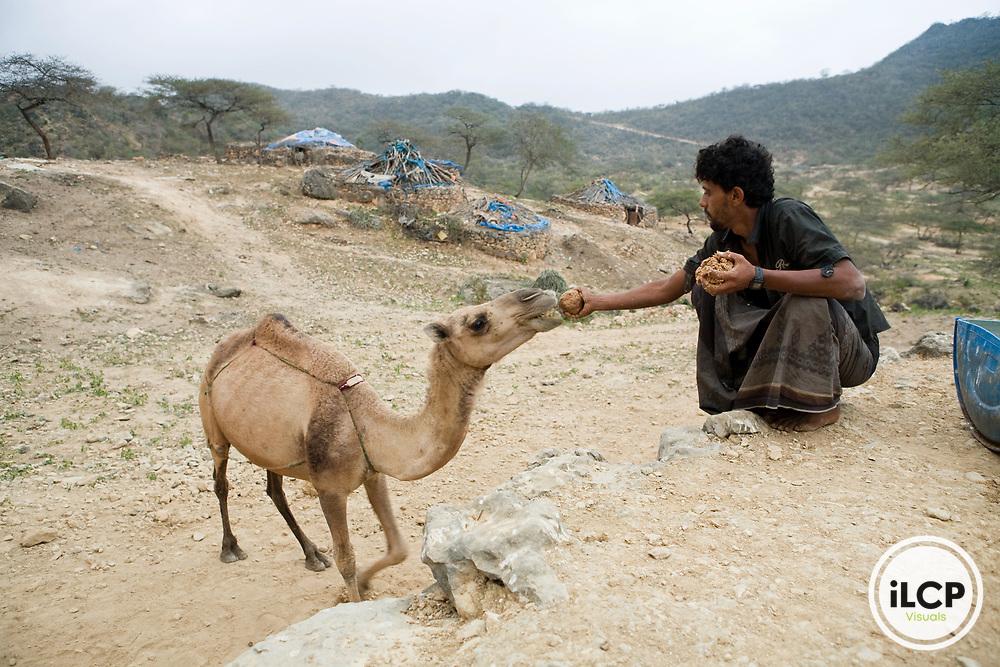 Dromedary (Camelus dromedarius) camel being fed Indian Oil Sardine (Sardinella longiceps) ball by Bedouin, Hawf Protected Area, Yemen