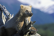 Alaskan Brown Bear<br /> Ursus arctos middendorffi<br /> Yearling cub on log<br /> Katmai National Park, AK