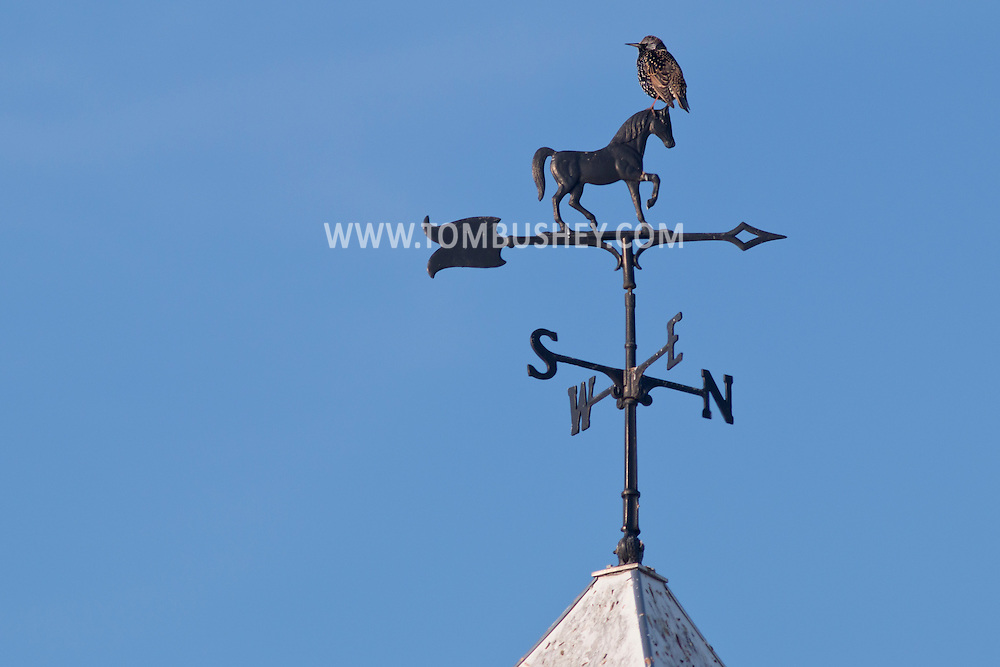 Town of Wallkill, New York - A bird perches on a wind vane on a barn at Mark Ford Training Center on Dec. 27, 2014. ©Tom Bushey / The Image Works