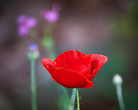 Red Poppy Flower. Image taken with a Nikon D3s camera and 80-400 mm VRII lens