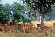 Herd of impala  in Moremi National Park, Botswana