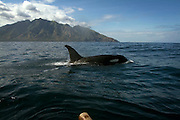 A killer whale run from the lamalera fisherman, Residents in the lamalera village, Indonesia cathing  sperm whales with traditional method to provide meals for the entire village and part of the Lembata island where the village is located..
