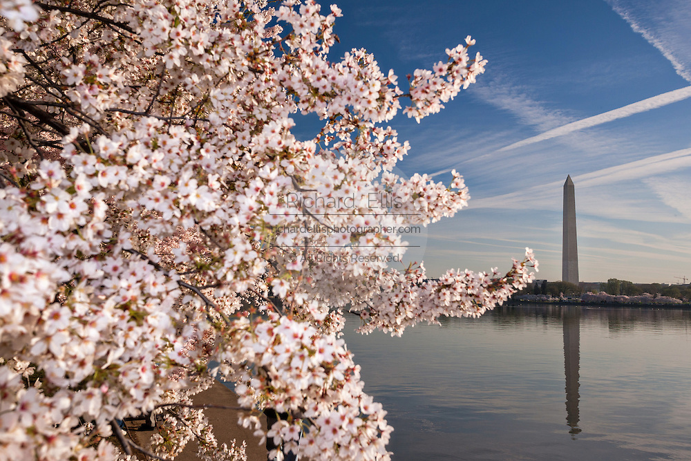 Cherry tree blossoms along the Tidal basin with the Washington Monument in Washington, DC.