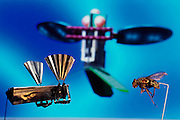 Professor Ron Fearing and his students at the University of California at Berkeley are using Dickinson's information to build a micromechanical fly. In the photo a 30% larger than final size scale mockup of the Micromechanical Flying Insect (MFI) is compared with its inspiration, the blow fly Calliphora erythrocephala. Researchers expect the stainless steel MFI to be flying in the lab by 2003. The main problem to be overcome in such a small device is an adequate power supply.