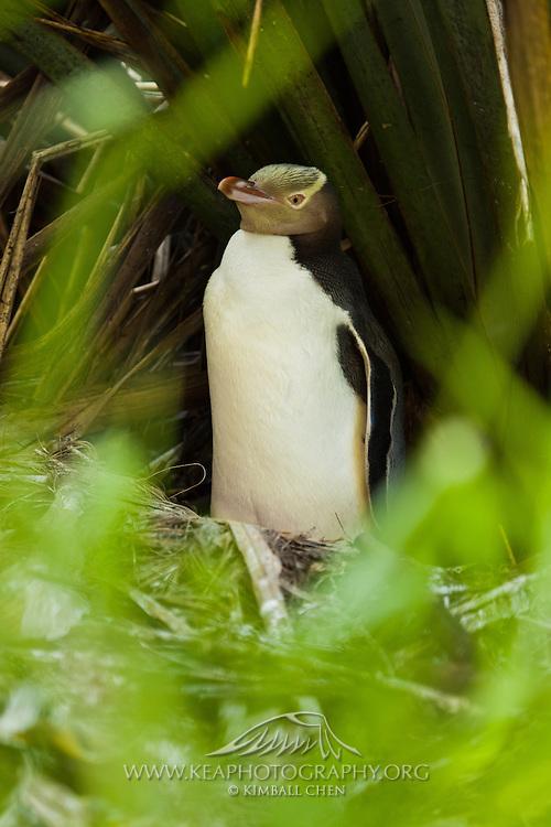 Yellow-eyed Penguin sitting on nest, Catlins, New Zealand
