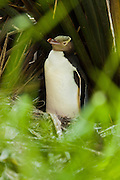 Yellow-eyed Penguin sitting on nest, Catlins, New Zealand