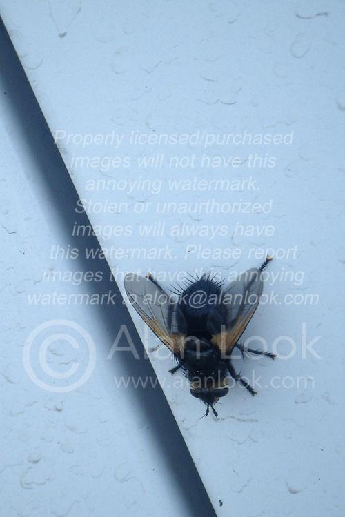 Large horsefly