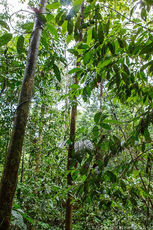 Lowland Dipterocarp rainforest of the Danum Valley Conservation Area (DVCA, Borneo - Malaysia)