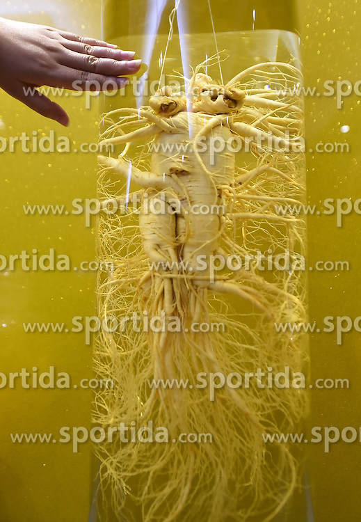 A fine sample of ginseng is displayed at a ginseng processing plant in Ji'an, northeast China's Jilin Province, June 11, 2015. China has a long history of cultivating ginseng, which is considered to be nutritious and to have medicinal value in traditional Chinese medicine. Considered as the world's largest ginseng production area, Jilin produces about 85 percent of China's total ginseng output and 70 percent of the world's output. More than 98 percent of ginseng in Jilin is currently cultivated, not grown in the wild. EXPA Pictures &copy; 2015, PhotoCredit: EXPA/ Photoshot/ Wang Haofei<br /> <br /> *****ATTENTION - for AUT, SLO, CRO, SRB, BIH, MAZ only*****