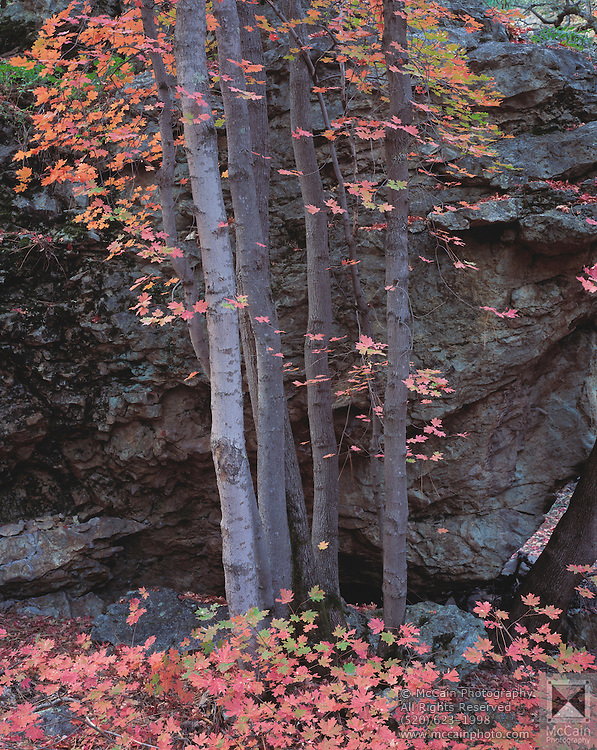 Bigtooth maple (Acer grandidentatum) tree in a rainbow of autumn colors, South Fork of Cave Creek, Chiricahua Mtns. of S.E. AZ.©1992 Edward McCain/McCain Creative, Inc. All Rights Reserved 520-623-1998