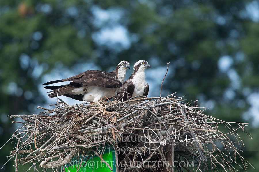 Two osprey stand in a large nest built of branches and twigs.