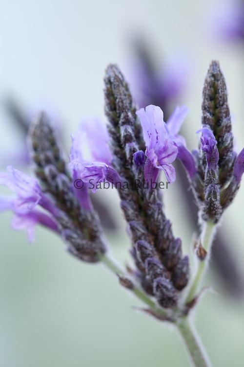 Lavandula multifida - fernleaf lavender