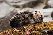 USA, Afognak Island, Kodiak Archipelago (AK)<br /> Sea otter (Enhydra lutris)