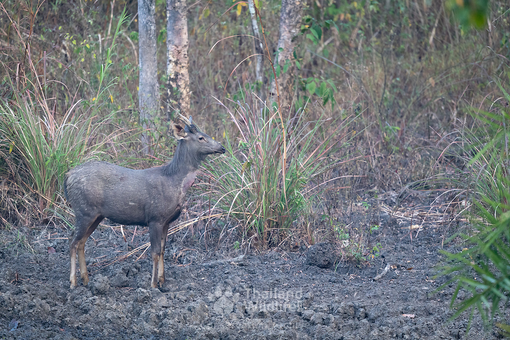 The sambar (Rusa unicolor) is a large deer native to the Indian subcontinent, southern China, and Southeast Asia that is listed as Vulnerable on the IUCN Red List since 2008.