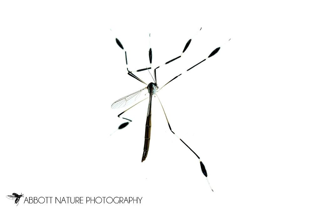 Phantom Crane Fly (Bittacomorpha clavipes)<br /> United States: Alabama: Tuscaloosa Co.<br /> Tulip Tree Springs off Echola Rd.; Elrod<br /> 33.33480, -87.79355<br /> 3-Jun-2016<br /> J.C. Abbott #2825 &amp; K.K. Abbott