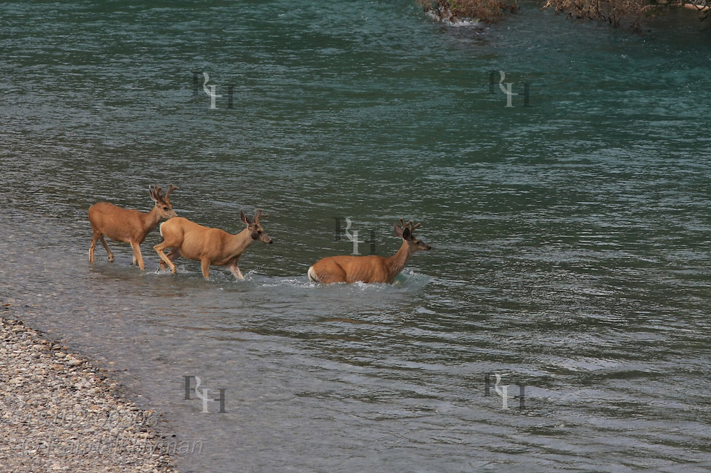 Mule deer buck (Odocoileus hemionus) leads two others in swimming across the Bow River in Banff National Park, Alberta, Canada.